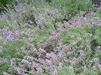 満開のラベンダーの花