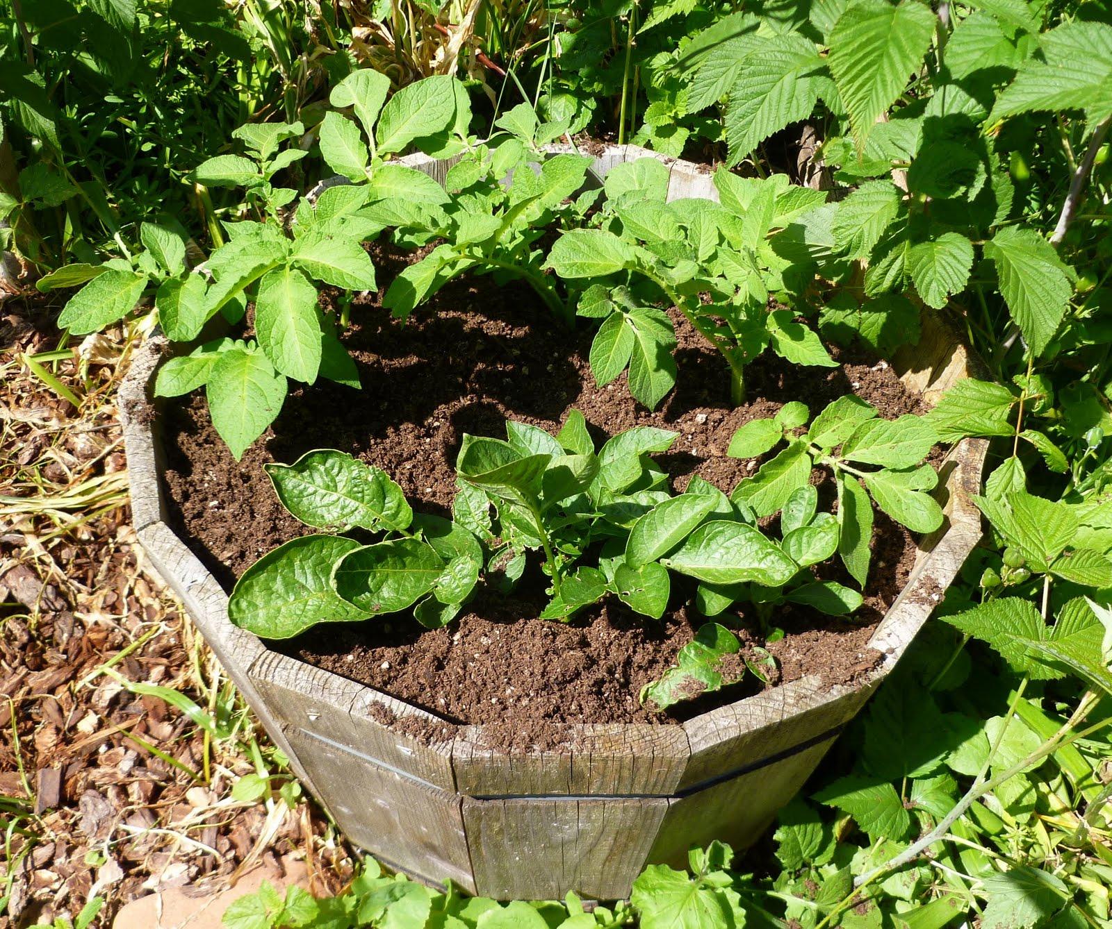 Выращивание картофеля в бочке