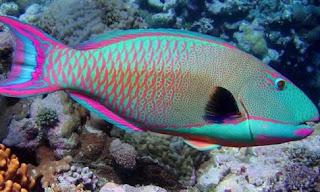 Ikan Hias Parrotfish