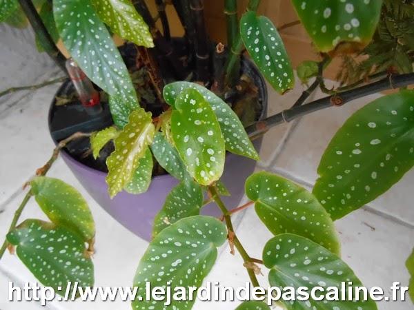 le jardin de pascaline bouture de begonia maculata. Black Bedroom Furniture Sets. Home Design Ideas