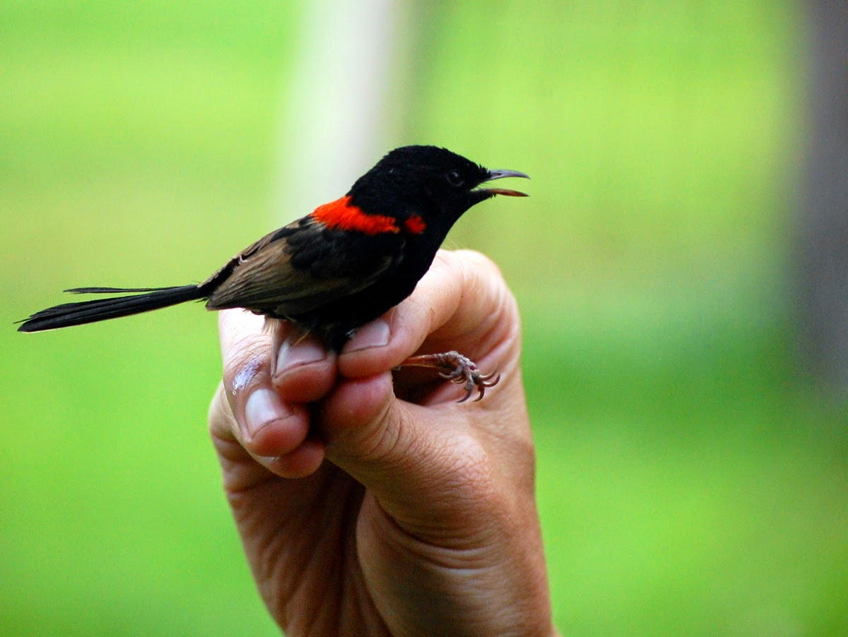red-backed fairy-wren in hand