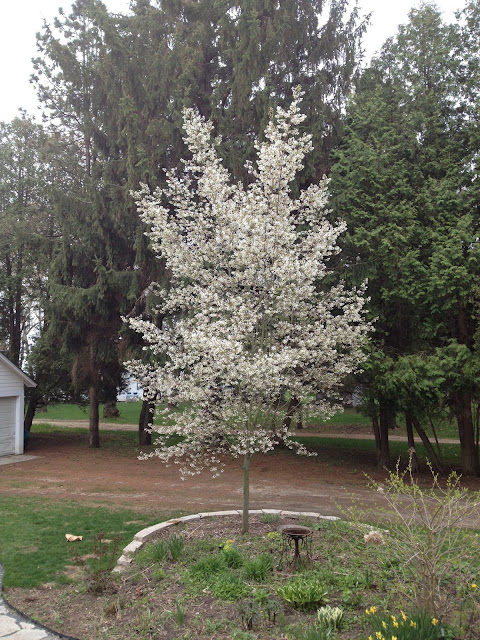 Serviceberry almost in full bloom