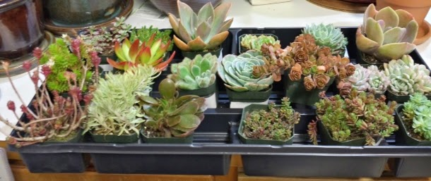 Buying Succulents Online - Our recommendations and experiences ...