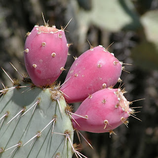 Fibers of nopal cactus help to trap fat and increase fiber in the digestive tract.