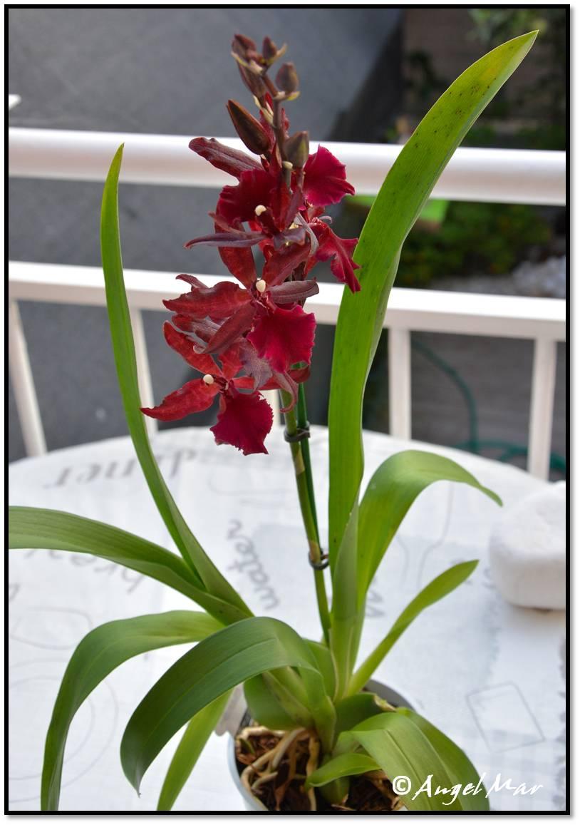 Es una planta que alcanza los 80 cms. de altura con largas hojas y altas espigas llenas de flores de unos 8 cms. de color púrpura oscuro o granate intenso
