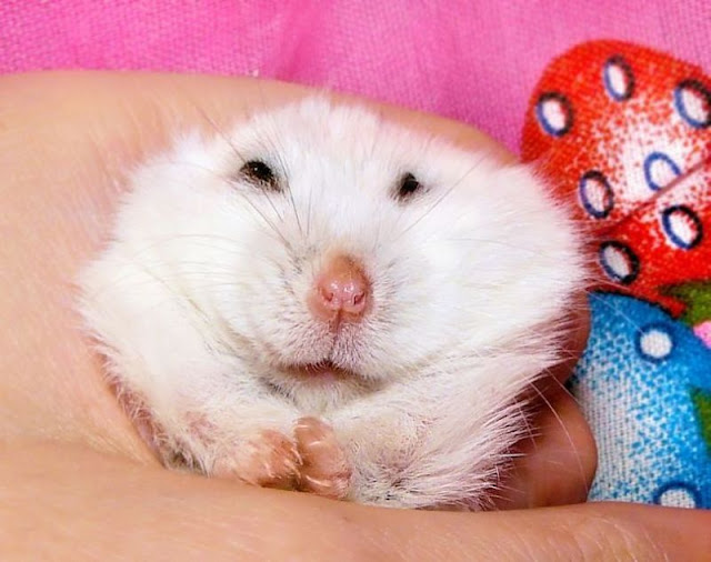 funny animal pictures, smiling hamster