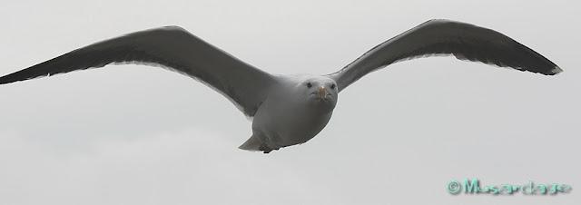 goéland-marin