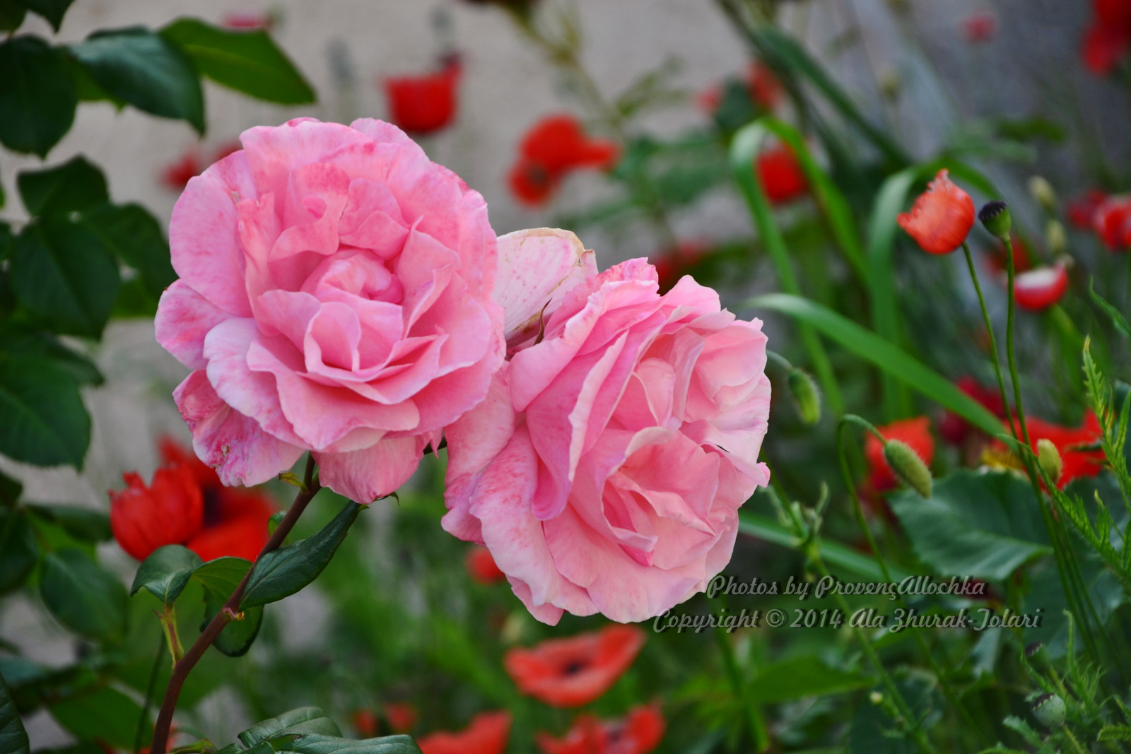 Catalogue de mes roses-Queen Elizabeth