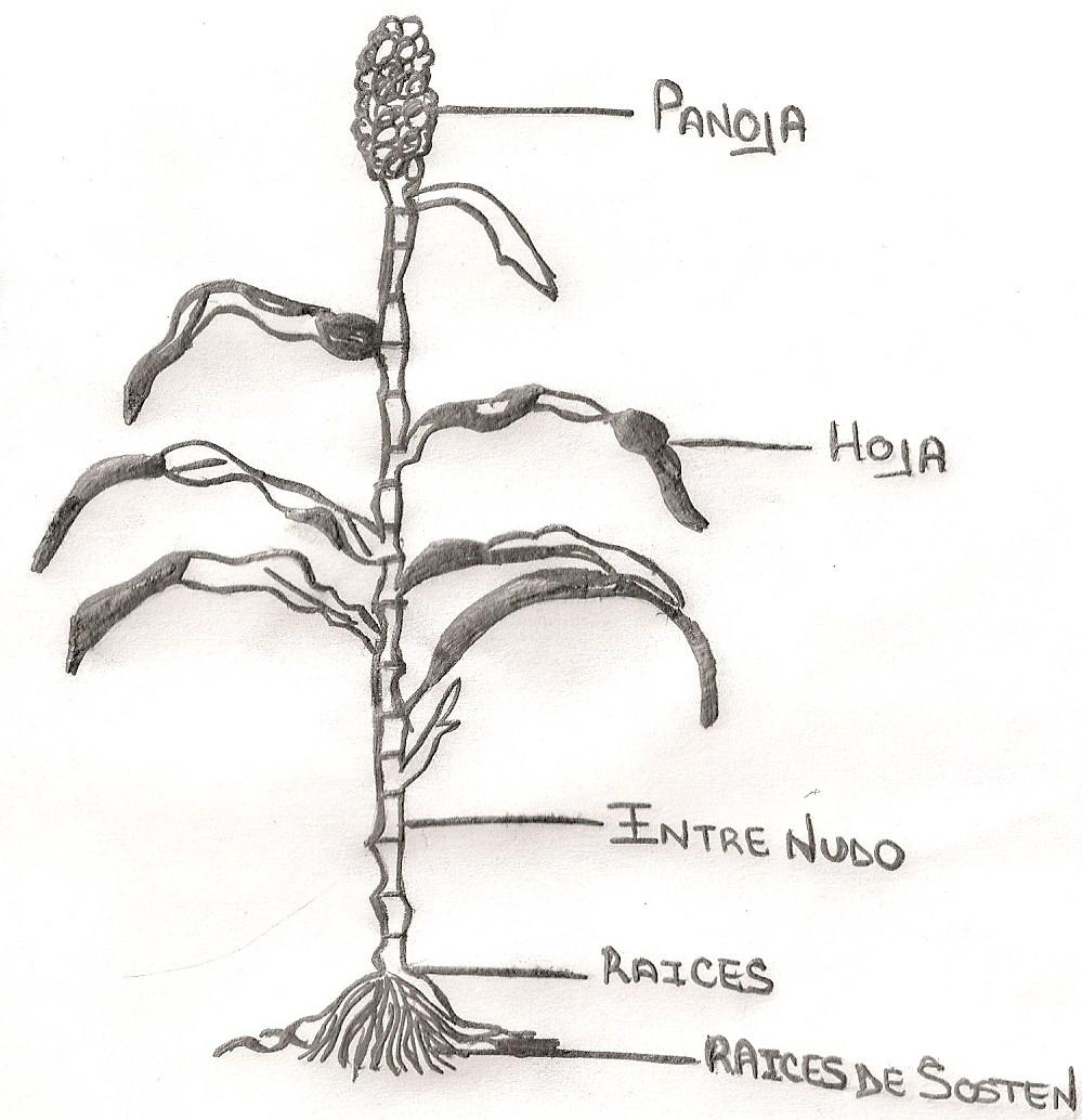RECURSOS FORRAJEROS: FISIOLOGIA Y DESARROLLO DE PLANTAS FORRAJERAS.