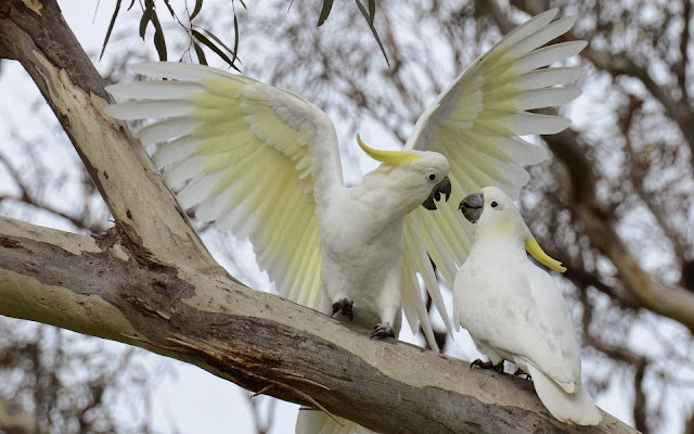 White Cockatoo Parrots