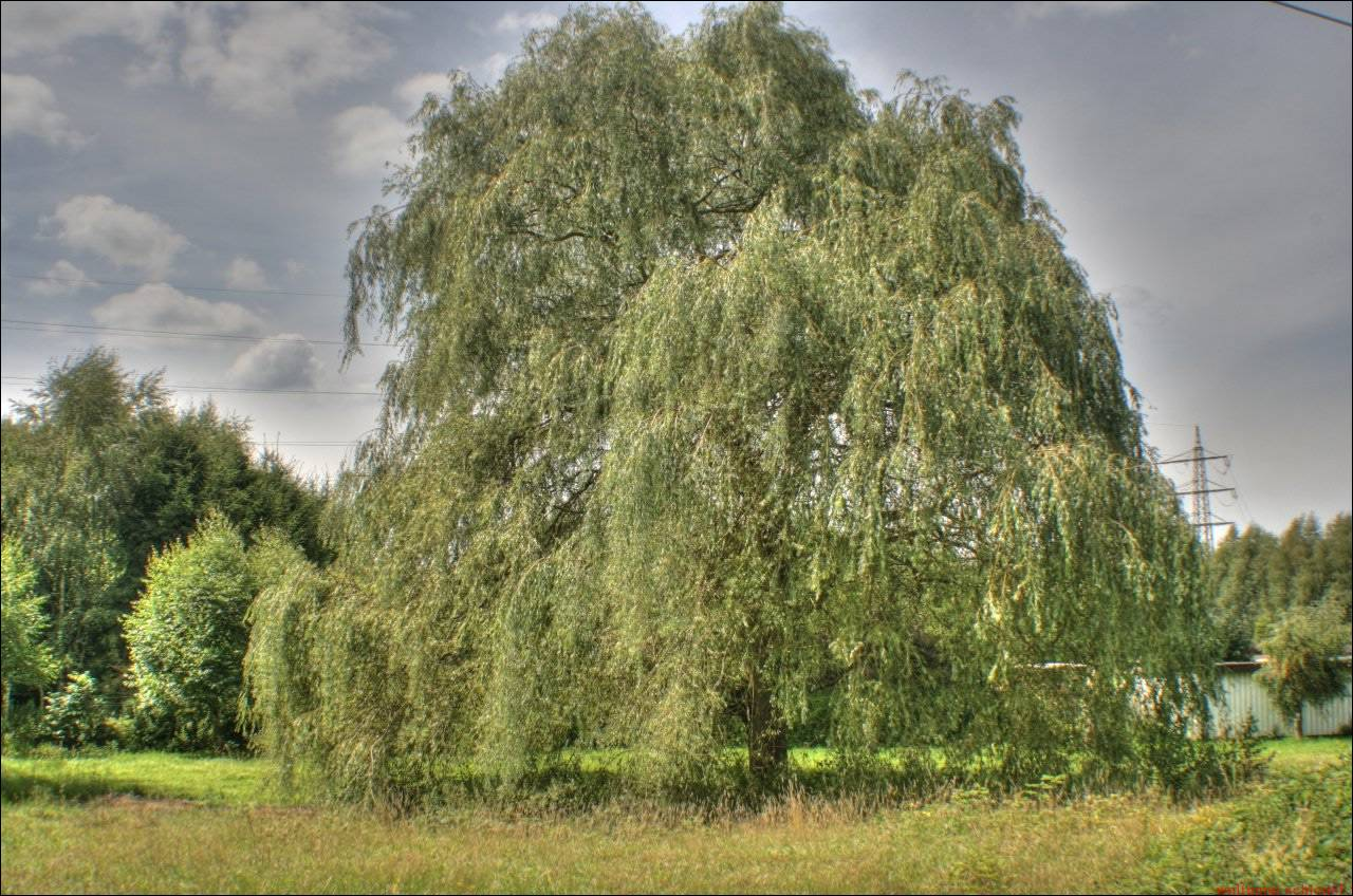 Bolsterbaum