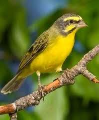 Foto Burung Sanger Terbaik