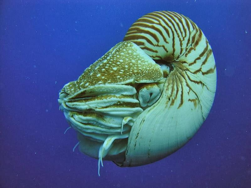 notilus berongga (Nautilus popillius)