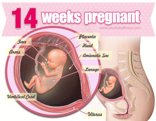 Где находиться ребенок на 12 недели беременности фото