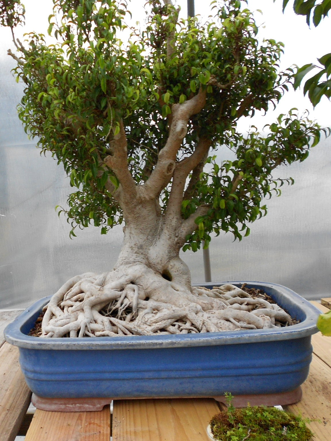 Ficus Toolittle