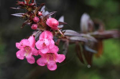 Agalinis lanceolata Flowers [13.3206 S, 72.6455 W]