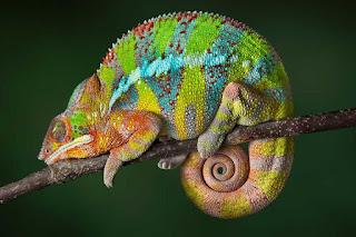 Gambar Bunglon Lucu DP Wallpaper Hewan Chameleon Terbaru