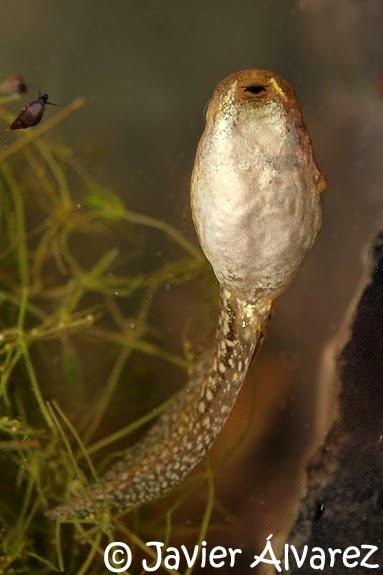Identificación de renacuajos | Anfibios y Reptiles de La Rioja