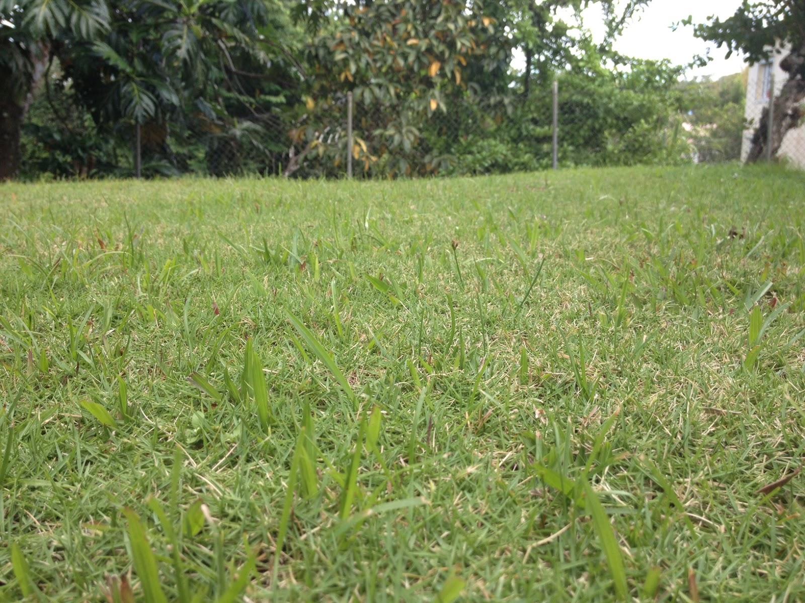 A la recherche de l 39 herbe ultime construire maison cr ole en martinique - Arrosage gazon apres semis ...