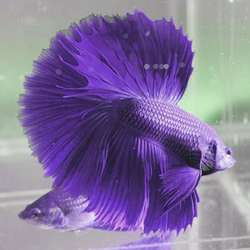 Lavender Betta Fish
