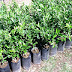 For sale: Calamansi (small and big) plants…