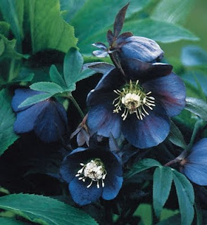 Metallic Blue Lady Lenten rose