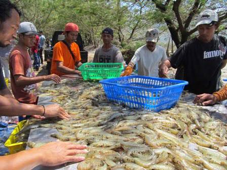 Cara Menghitung Produktivitas Hasil Panen Udang dalam Budidaya Udang Vaname | Agro Nusantara | www.agrotaninusantara.com