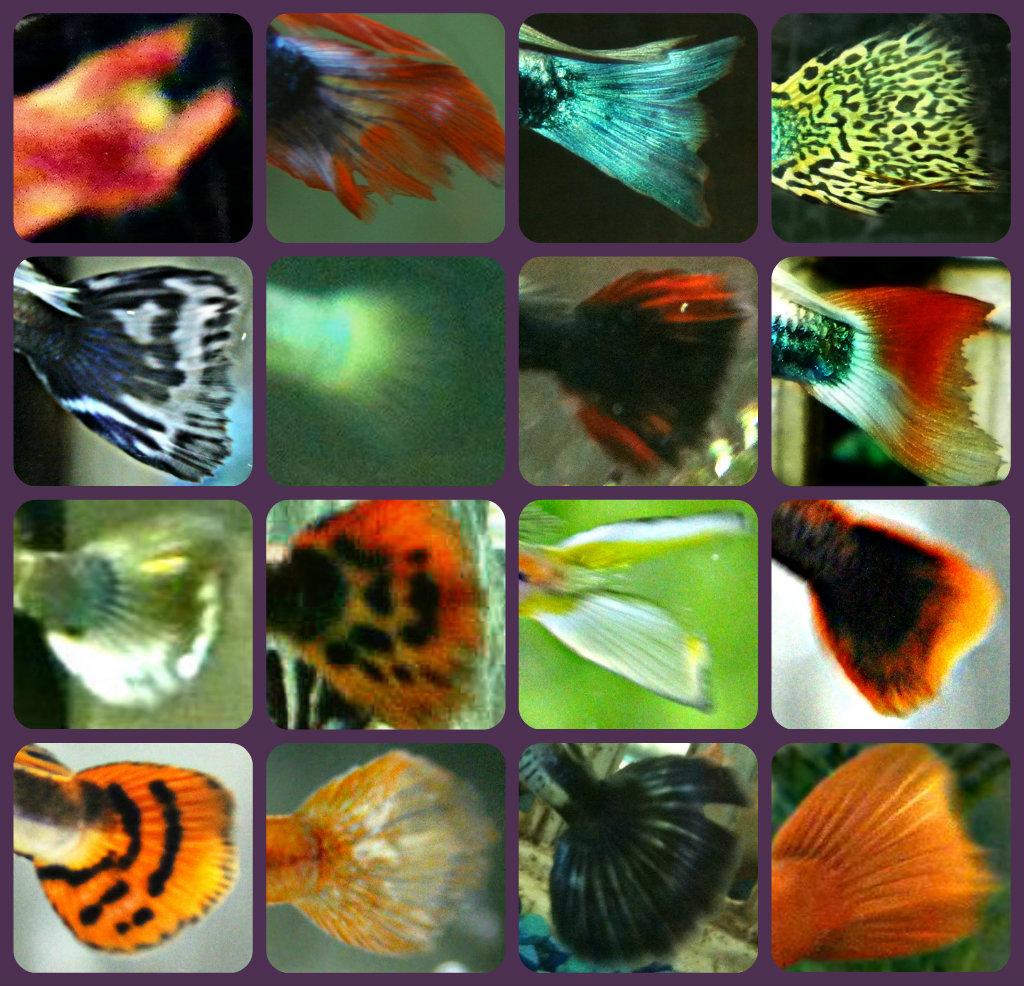 the underwater empire u0027a guppy u0027s tail u0027