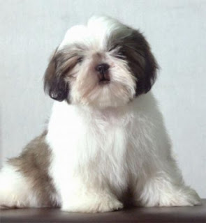 Cute Shih Tzu Puppy Photos