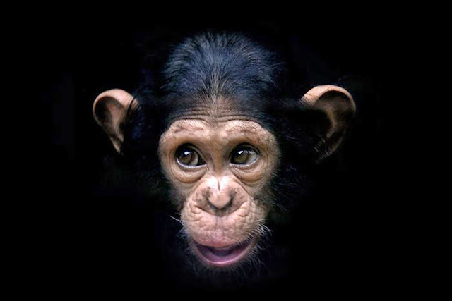 chimpancé pequeño