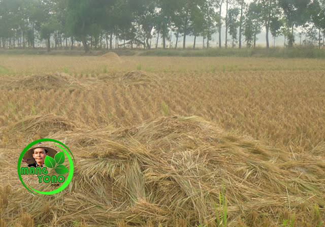 FOTO : Jerami / batang padi untuk pupuk kompos.