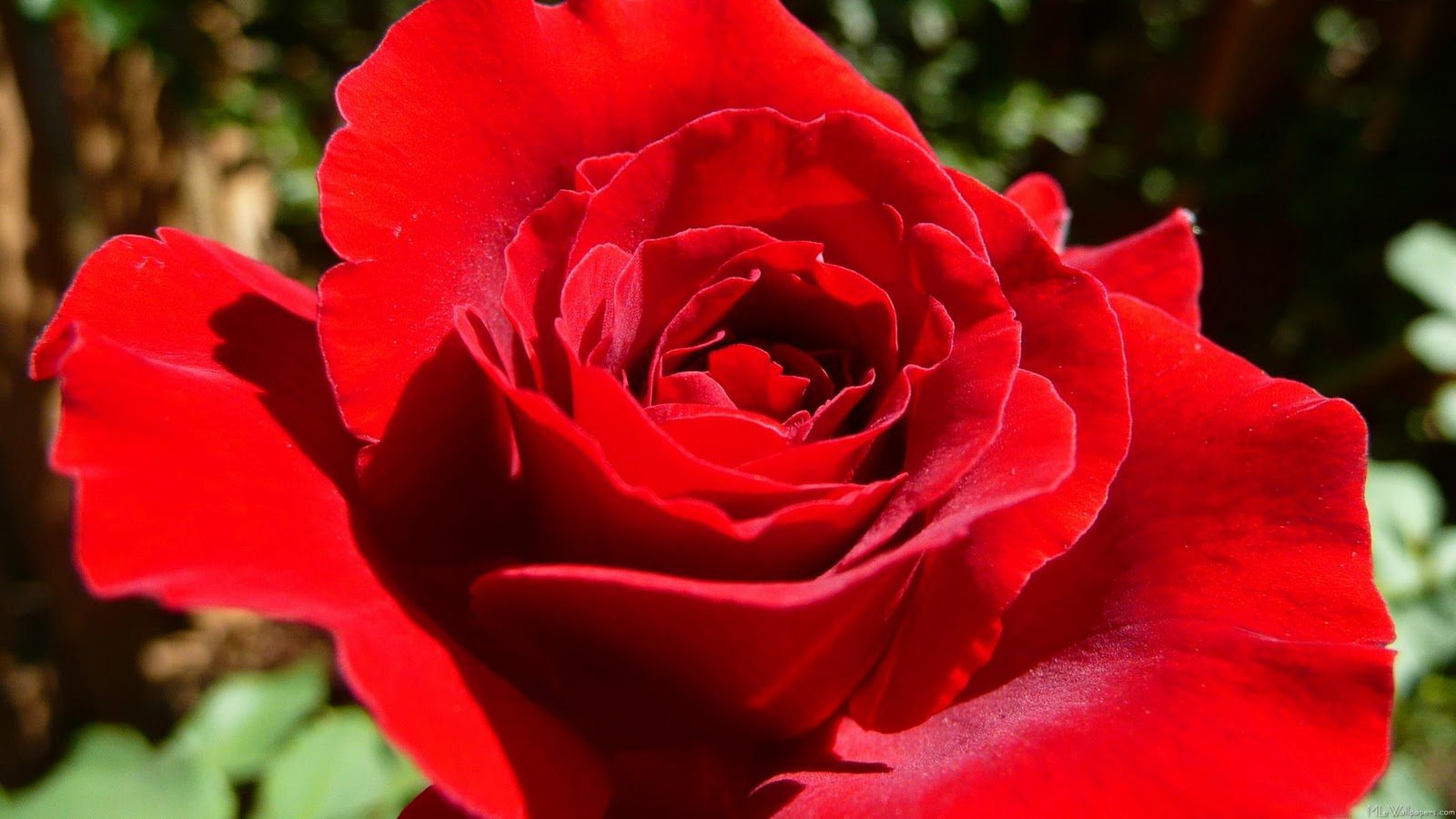 17 beautiful red rose - photo #22