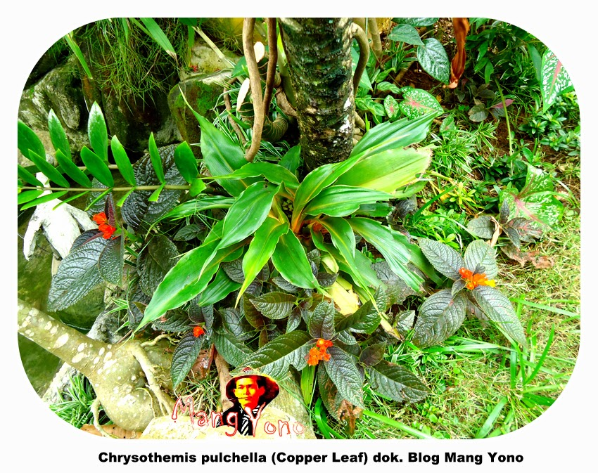 Bunga Chrysothemis pulchella (Copper Leaf) - Mang Yono