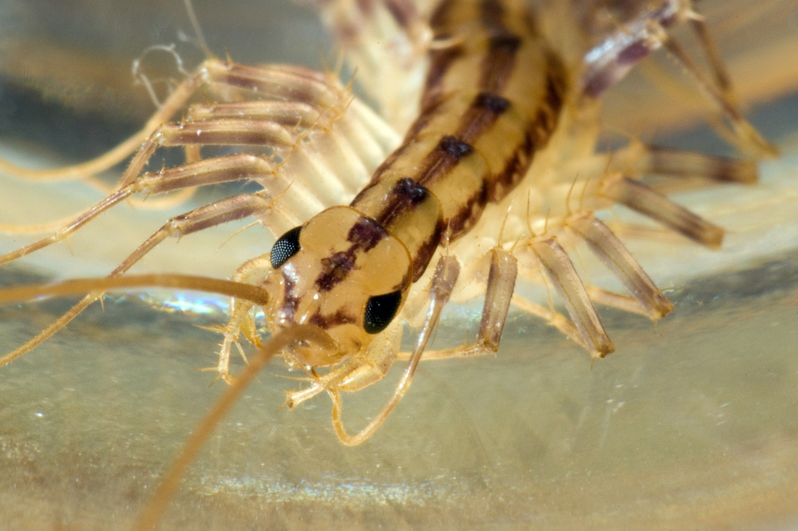 House centipedes images