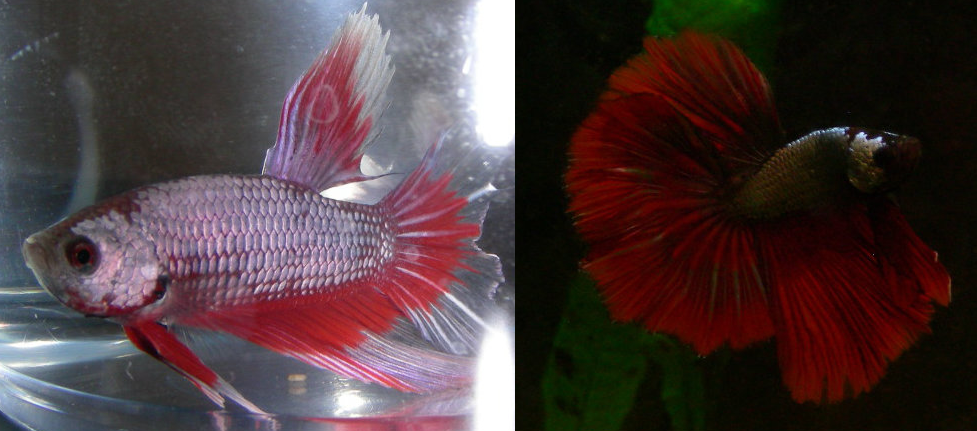 Fish girl writes color changes in bettas for Betta fish water change