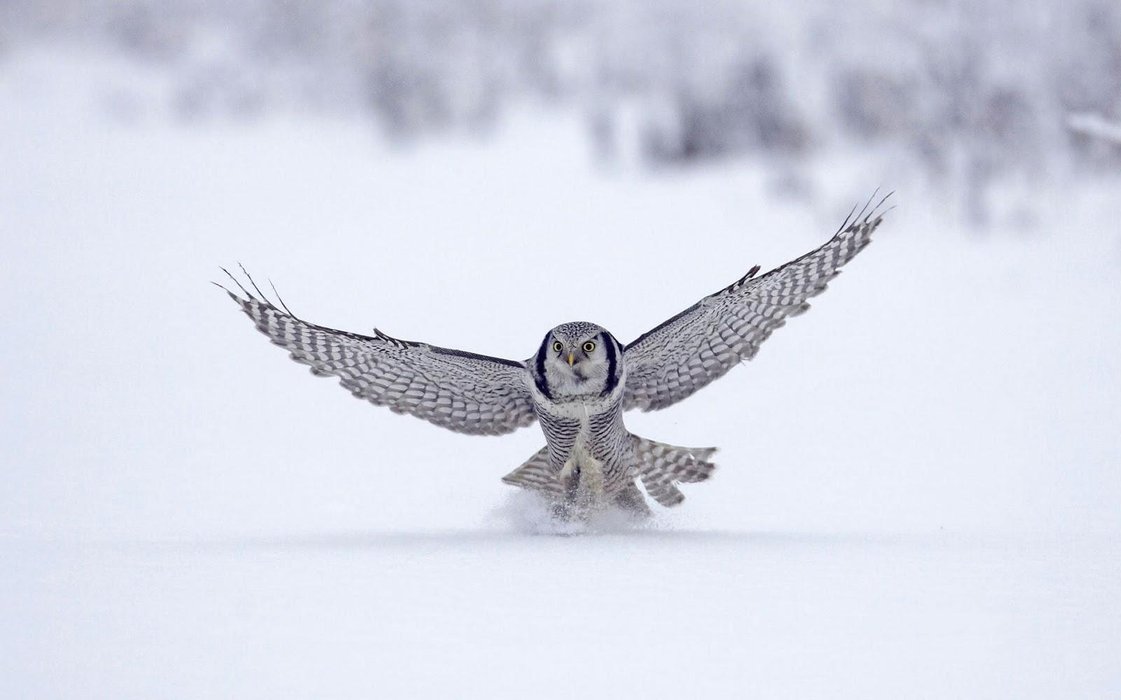 http://4.bp.blogspot.com/-h0PQXodgonE/ToausoRw12I/AAAAAAAAAjk/F6QnGZI2IQE/s1600/Northern-Hawk-Finland-wallpaper.jpg