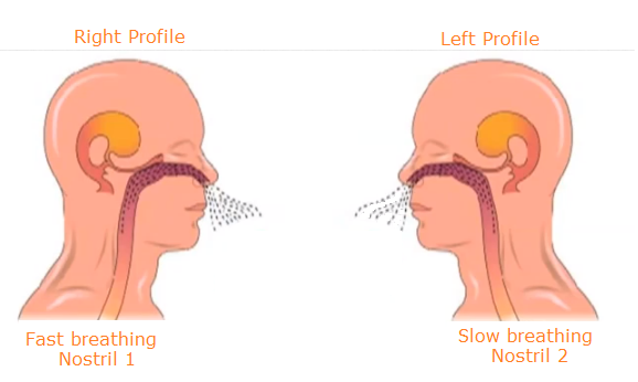 Why two nostrils - Why not one or three? | ScienceLet