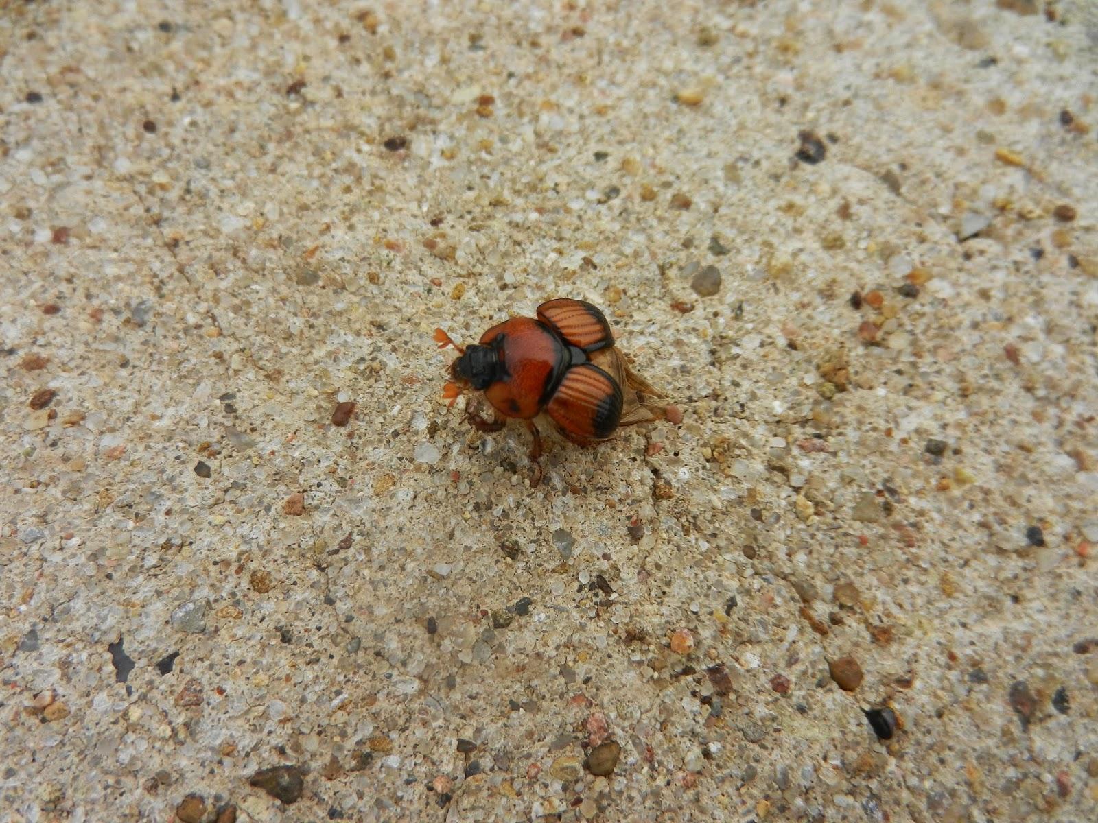 field beetle