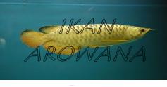 Indo Golden Arowana menjual ikan golden crossback arowana unggul dengan harga pantas