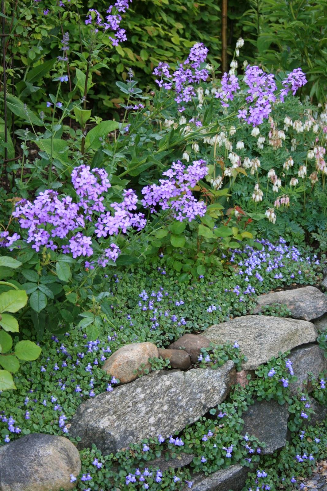 trädgårdsnattviol Hesperis matronalis