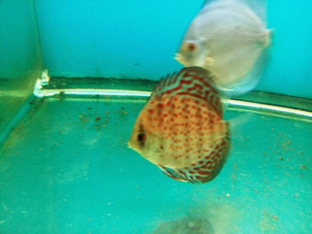 Discus fish for sale in mumbai 2014 2017 fish tank for Bichir fish for sale