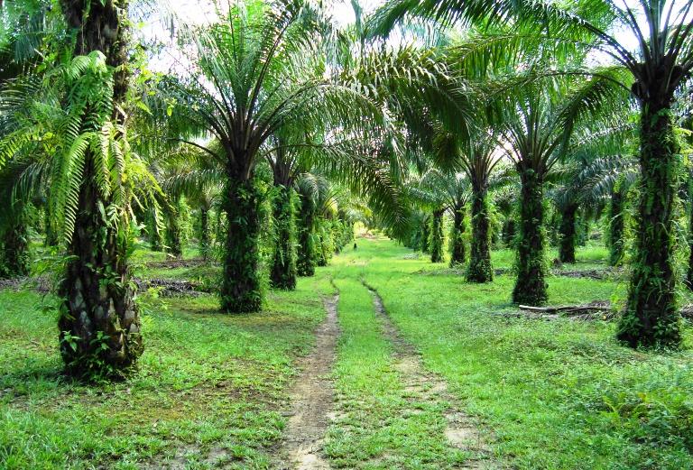 Kelapa Sawit yang ditanam di tanah pamah Sabah