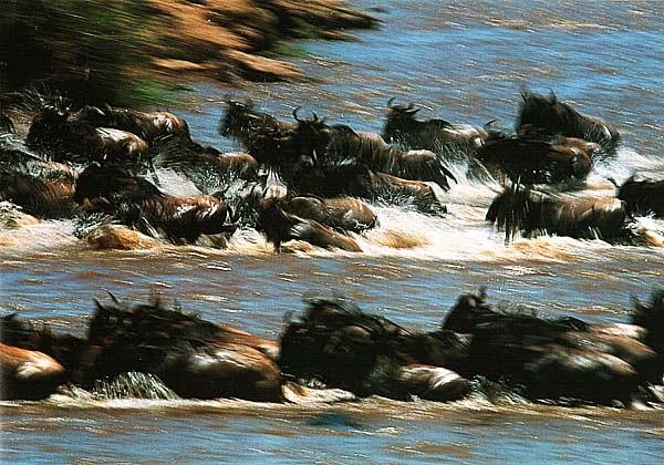 Антилопы на переправе