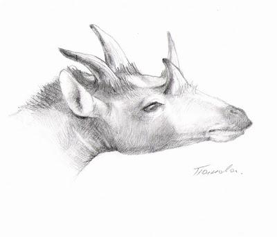 reconstruccion de rostro de Giraffokeryx