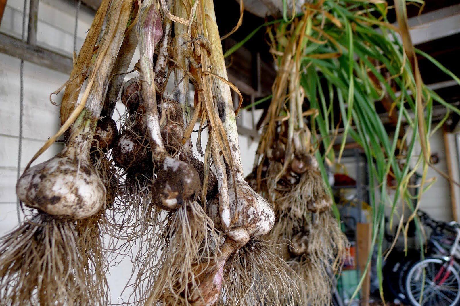 Curing garlic, preserving, urban farming