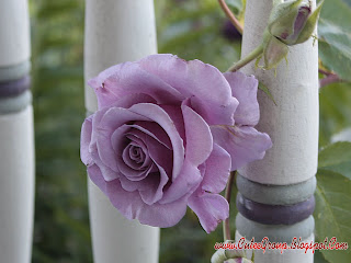 Light Purpel Rose Wallpaper