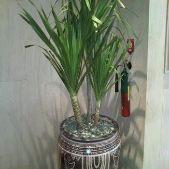 TANAMAN INDOOR COCOK ( DALAM RUANGAN ) | jual pucuk merah