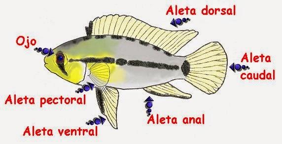 Artes de Pesca: CARACTERÍSTICAS GENERALES DE LOS PECES