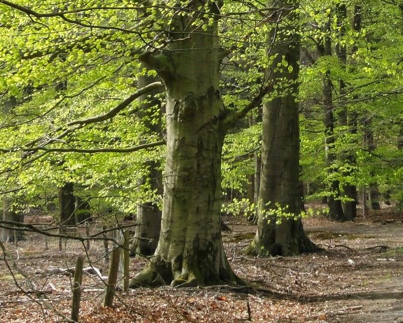 Bewust leven kruiden planten en bomen de beuk for Bewust leven