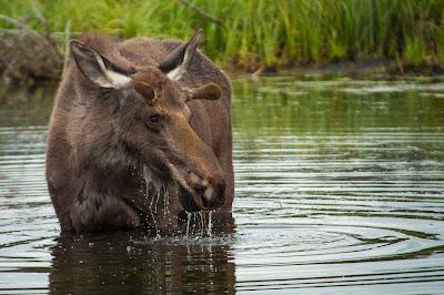 Bull Moose, Taylor Reservoir